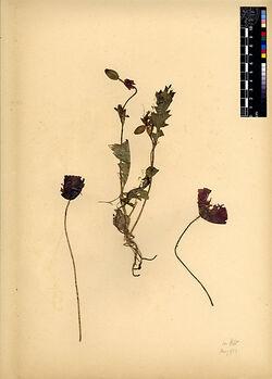 Papaver Rhaeas, L. Papaveraceae