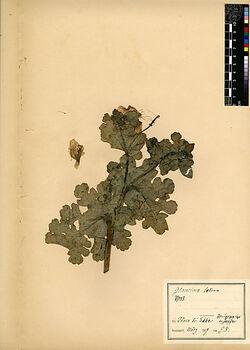 Glaucium luteum, SCOP. (G. flavum, CRANTZ). Papaveraceae