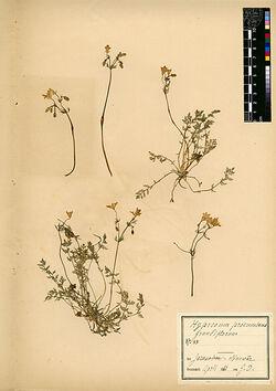 GDIh0076; Hypecoum grandiflorum, BENTH.; Hypecoum procumbens grandiflorum