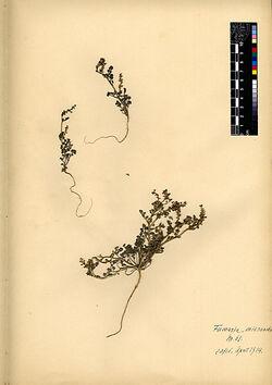 Fumaria micrantha, LAG. Papaveraceae