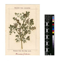 Fumaria judaica, BOISS. Papaveraceae