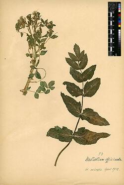 Nasturtium officinale, R.BR. Cruciferae