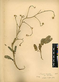 Sinapis arvensis, v. orientalis, BOISS. Cruciferae