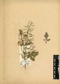 Sinapis alba, L. Cruciferae