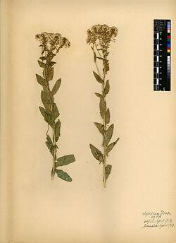 Lepidium Draba, L. Cruciferae