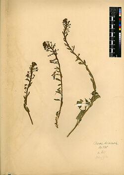 Cleome trinervia, FRESEN. Capparidaceae