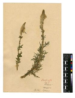 Reseda alba, L. Resedaceae