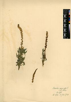 Reseda muricata, PRESL. Resedaceae