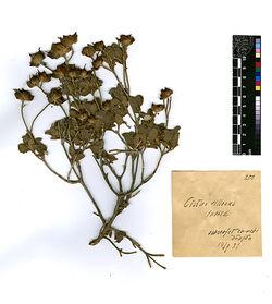 Cistus villosus, L. Cistaceae