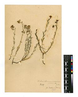 Helianthemum vesicarium, BOISS. Cistaceae