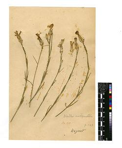 Dianthus multipunctatus, SER. Caryophyllaceae