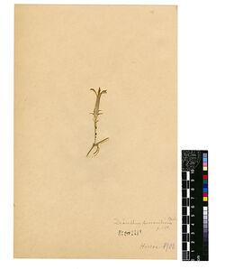 Dianthus auraniticus, POST. Caryophyllaceae