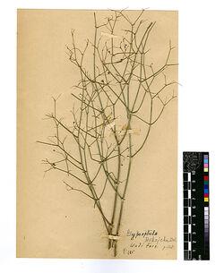 Gypsophila Rokejeka, DEL. Caryophyllaceae