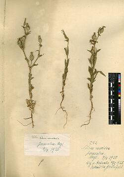 Silene conoidea, L. Caryophyllaceae