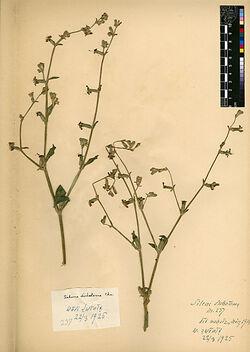 Silene dichotoma, EHRH. Caryophyllaceae
