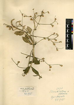 Silene dichotoma, v. glabrescens, POST. Caryophyllaceae