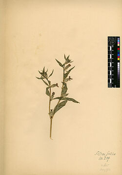 Silene gallica, L. Caryophyllaceae