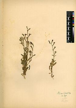 Silene colorata, POIR. (S. bipartita DESF.). Caryophyllaceae