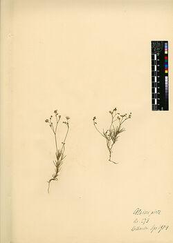 Alsine picta, SIBETH. et SM. Caryophyllaceae