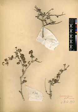 Gymnocarpum fruticosum, PERS. Caryophyllaceae