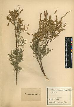Tamarix mannifera, EHRENB. Tamaricaceae