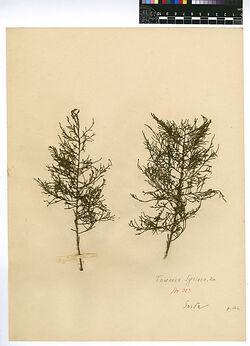 Tamarix Syriaca, BOISS. Tamaricaceae
