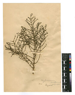 Hypericum crispum, L. Hypericaceae