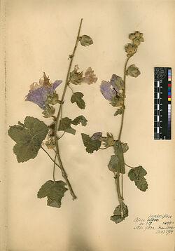 Alcea lavateraeflora, (DC.). Malvaceae