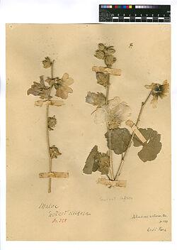 Alcea setosa, (BOISS.). Malvaceae