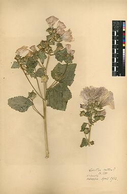 Lavatera cretica, L. Malvaceae