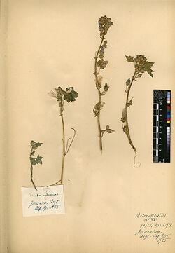 Malva sylvestris, L. Malvaceae
