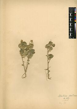 Abutilon fruticosum, GUILL. et PERR. Malvaceae