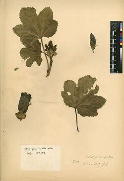 Hibiscus esculentus, L. Malvaceae