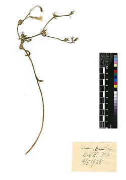 Linum flavum, L. Linaceae