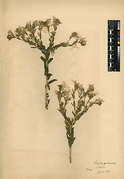 Linum pubescens, RUSS. Linaceae