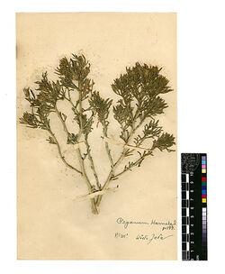 GDIh0247; Peganum Harmala, L.; Peganum Harmala