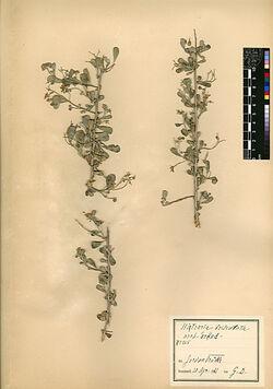 Nitraria tridentata, DESF. Zygophyllaceae