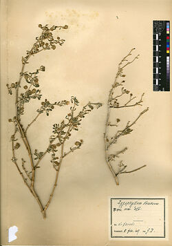 GDIh0251; Zygophyllum dumosum, BOISS.; Zygophyllum dumosum, arab. ´adb