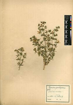 Fagonia grandiflora, BOISS. Zygophyllaceae