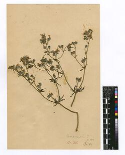 Geranium tuberosum, L., v. genuinum, BOISS. Geraniaceae