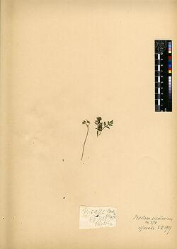 Erodium cicutarium, (L.), L