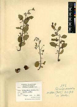 Paliurus aculeatus, LAM. Rhamnaceae