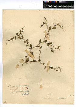 Zizyphus Lotus, (L.). Rhamnaceae