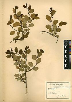 Zizyphus Spina-Christi, v. inermis, BOISS. Rhamnaceae