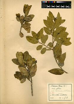 Rhamnus Alaternus, L. Rhamnaceae