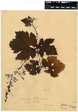 Vitis vinifera, L. Vitaceae
