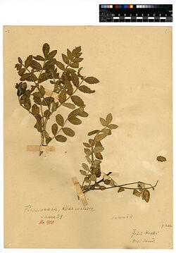 Rhus coriaria, L. Anacardiaceae