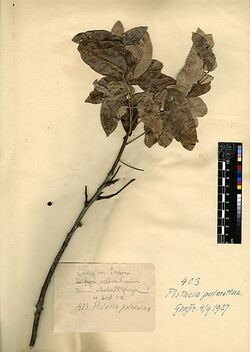 Pistacia palaestina, BOISS. Anacardiaceae