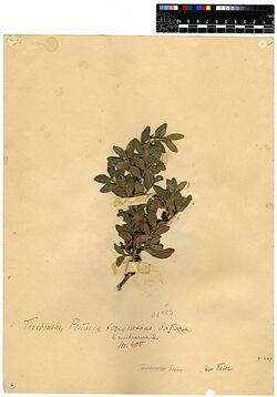 Pistacia lentiscus, L. Anacardiaceae