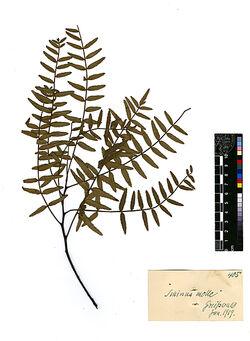Schinus molle, L. Anacardiaceae